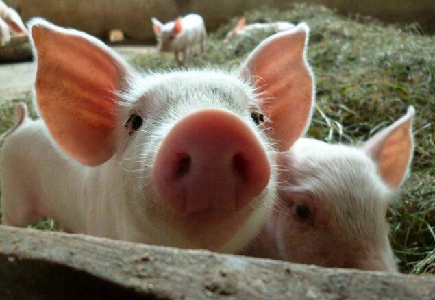 Feeding hungry piglets
